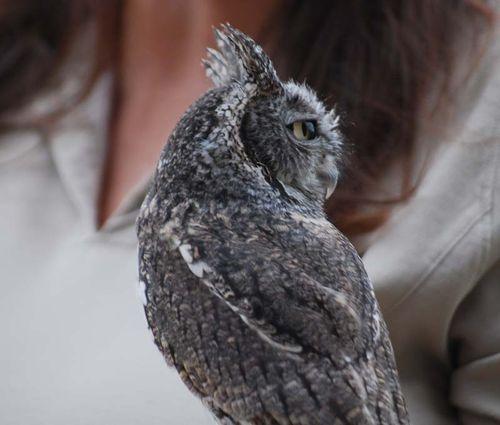 Screech owl turn